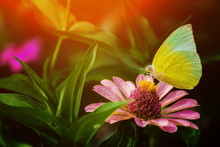 Close Up Of Yellow Butterfly Perching On A Pink Flower There Are Leaf And Orange Light