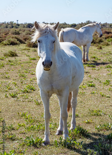 White Camargue horses in southern France
