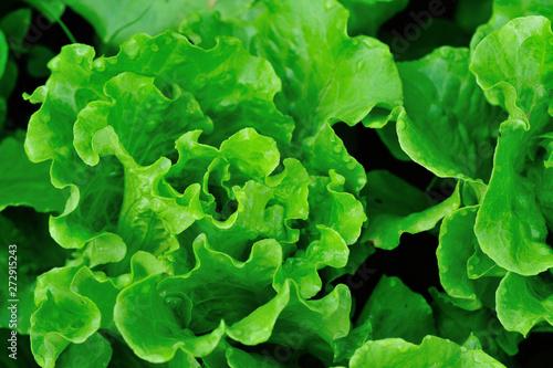 Obraz Green lettuce plants in growth at field - fototapety do salonu