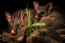 Two Australian Brush Tailed Po...