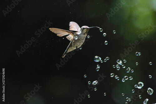 Obraz na płótnie Hummingbird