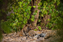 A Mating Pair Of Tigers Resting After Rounds Of Mating Between These Two Tigers At Ranthambore National Park, India