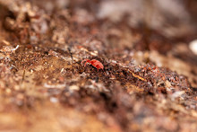 Close Up Macro Image Of Red Ve...