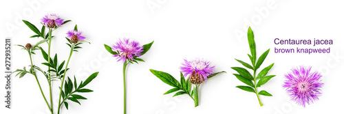 Knapweed centaurea flower composition set