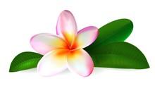 Plumeria Flower. Frangipani Wi...