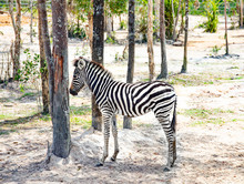 Small Zebra Foal Stands Alone Between The Trees