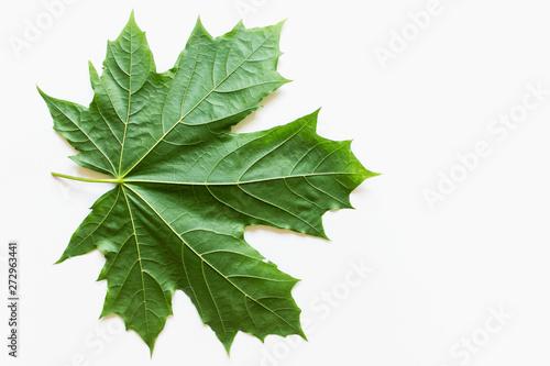 Fototapeta Large green maple leaf on white background
