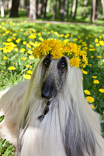 Dog Breed Dog Afghan Hound  Lying On The Green Lawn In A Wreath From Yellow  Dandelions
