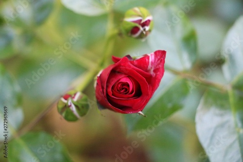 close up of a  fresh red rose in the garden