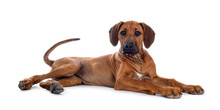 Cute Wheaten Rhodesian Ridgeback Puppy Dog With Dark Muzzle, Laying Down Side Ways. Looking At Camera With Sweet Brown Eyes. Isolated On White Background. Tail Playful In Air.