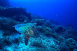 canvas print picture - sea turtle underwater / exotic nature sea animal underwater turtle