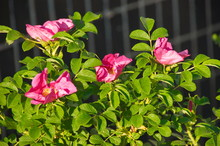 Pink Flowers And Green Leaves ...
