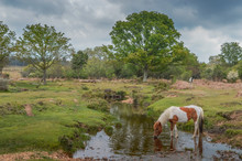A Beautiful Pony Drinking From A Stream In The New Forest
