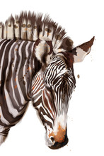 Zebra Vector Watercolor Isolated On White. Painted Style Illustrations