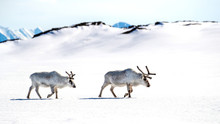 Two Reindeer Walk Across The S...