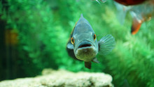Funny Blue Fish In Aquarium Lo...
