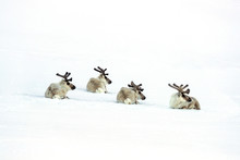 Four Reindeer Laying In The Sn...