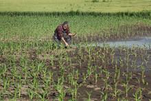 Agricultural Scene, Farmer In ...
