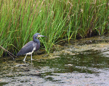 The Marsh Habitat Is A Protect...