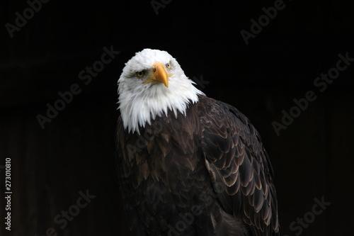 Deurstickers Eagle Weisskopfseeadler