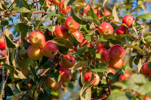 Ranetki ripe on the branch. Malus baccata. Siberia