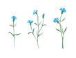 Leinwanddruck Bild - Cornflower plant with blue flowers, watercolor painting set isolated on white background