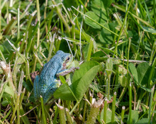 Naturally Blue Colored Eastern Gray Tree Frog In The Grass