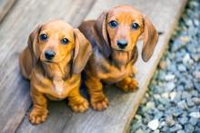 Dachshund Puppy Portrait Wooden Background