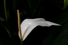White Anthurium Peace Lily