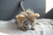 Funny Playful Kitten In Lion M...