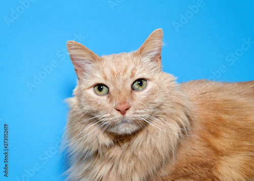 Portrait of a long haired orange tabby cat looking directly at viewer with bright green speckled eyes. Blue background.