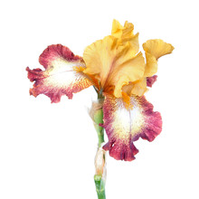 Plicata (yellow Standards And White Falls With Red Border) Iris Flower Isolated On White Background. Cultivar From Tall Bearded (TB) Iris Garden Group