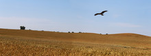 Eagle Hovers Over The Field Of Ripening Wheat ...