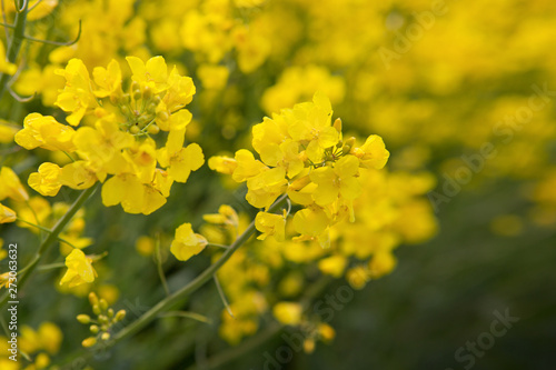 Rape flowers isolated on a yellow blur background.