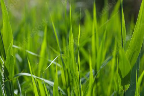 Fotografie, Obraz Sedge leaves on summer morning