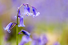 A Single Bluebell In A Beech T...