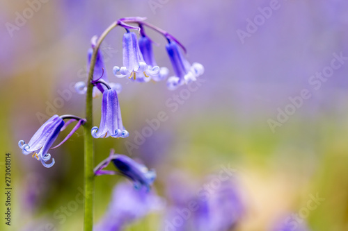 A single bluebell in a beech tree forest Wallpaper Mural