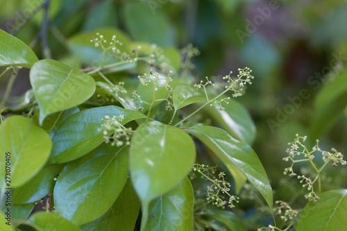 Fotografija Flowers of a false camphor tree, Cinnamomum glanduliferum.