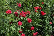 Metal Mesh Fence Overgrown With Red Roses And Green Leaves Of The Bush