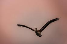 A Brown Pelican Flies Overhead...
