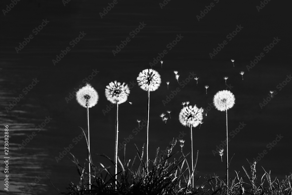 Fototapeta Five dandelions from which the wind blows away the seeds. Dandelions on the grass on a black background. Photographic