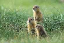 Three Cute Baby Gopher Peering...