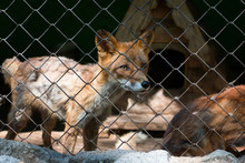 Red Fox In A Cage In A Zoo. Cl...