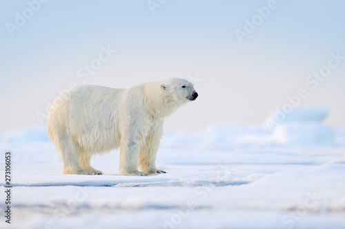 Deurstickers Ijsbeer Polar bear on drift ice, Svalbard, Norway.