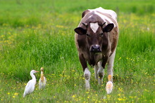 Wild Cattle Egrets (Bubulcus Ibis) Pasturing With Cow On Green Grass Meadow. Friendship Between Wild And Domestic Animals.