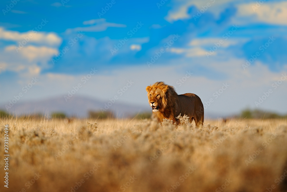 Fototapeta Lion walk. Portrait of African lion, Panthera leo, detail of big animals, Etocha NP, Namibia, Africa. Cats in dry nature habitat, hot sunny day in desert. Wildlife scene from nature. African blue sky.