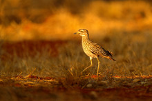 Spotted Dikkop, Burhinus Capensis In Namibia, Evening Light With Beautiful Bird. Dikkop In The Grass, Wildlife Scene From African Nature.