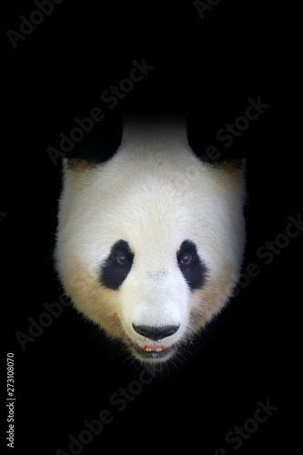 Autocollant pour porte Panda Panda bear, detail portrait. Wildlife scene from Chinese nature. Giant Panda hidden in dark tree in forest. Cute black and white bear with smile. Funny image from Asian nature. Art black nature.