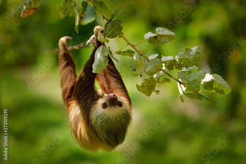 Stampa su Tela  Sloth in nature habitat