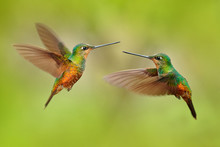 Hummingbirds With Long Golden Tail, Beautiful Action Flight Scene With Open Wings, Clear Green Backgroud, Chicaque Natural Park, Colombia. Two Birds Golden-bellied Starfrontlet, Coeligena Bonapartei.